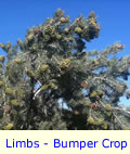 Pinyon Pine Tree Limbs With Bumper Crop of Pine Cones