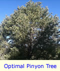 Pinyon Pine Tree Optimal Size for Production