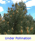 Pinyon Pine Tree Under Pollination